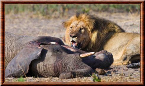 Rugby: le Lion et l'Eléphant de Bourgoin…